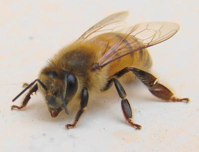 Cara Mudah Ternak Lebah Madu di Pekarangan Rumah