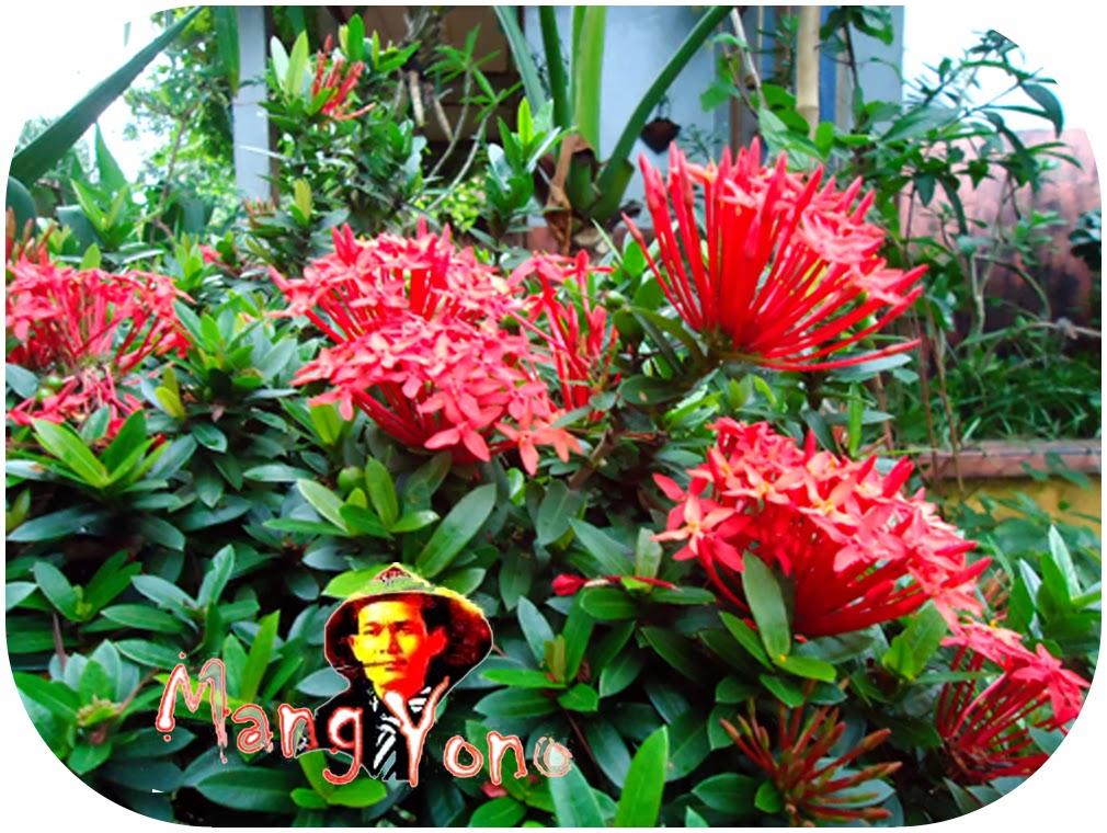 Indahnya Taman Dengan Bunga Asoka Yang Memikat Hati