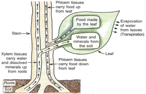 Mech anism - पौधों में परिसंचरण तंत्र की क्रियाविधि