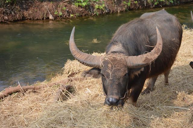 Buffle au Myanmar