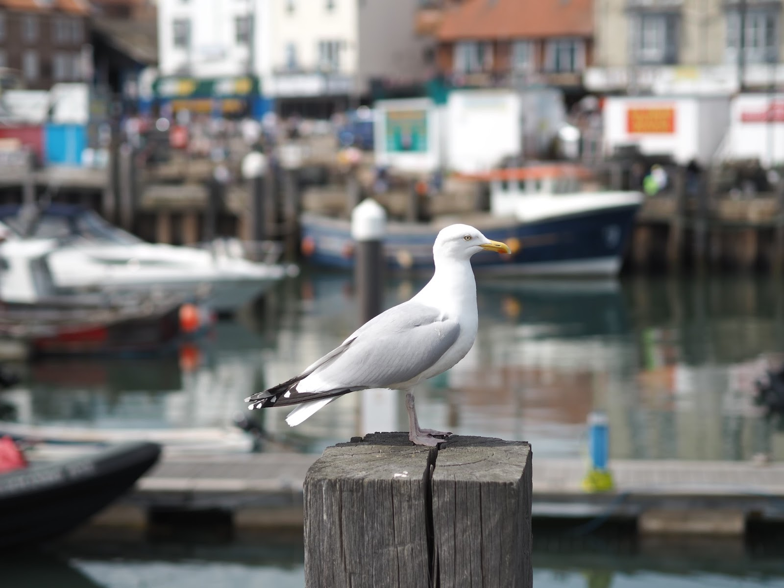 Seagull at the Harbour, South Bay, Scarborough, Yorkshire
