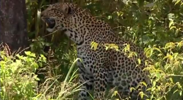 jersey au mètre leopard