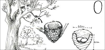 Picaflor bronceado Hylocharis chrysura