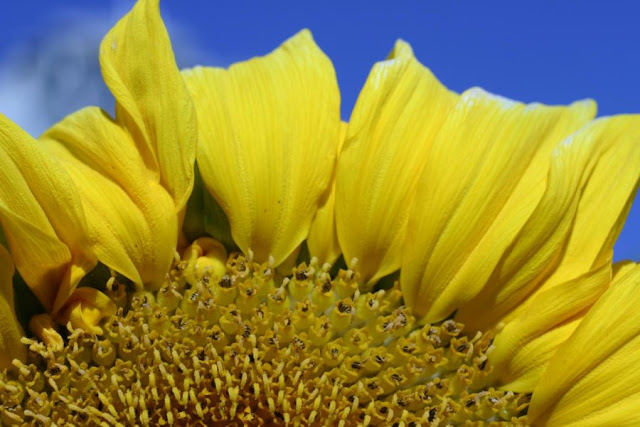 RNA changes aided sunflower's rapid evolutionary transformation, domestication