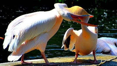 Pelikan, pélican, con chàng bè, pelícano, pellicano, Pelican, pelican, pelikaani, pelikanas, pelikaan, пеликан, peileacánach, дәу, 펠리컨, นกกระทุง, con chàng bè,
