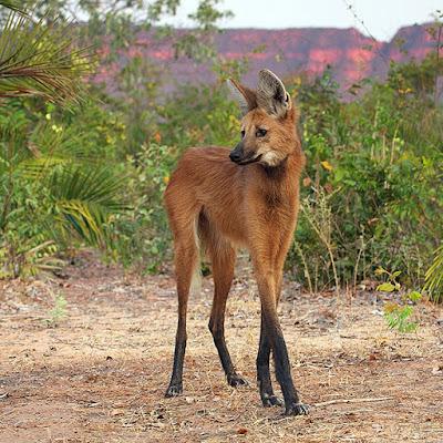 www.fertilmente.com.br - O Lobo guará é um animal pouco adaptado ao cativeiro, mas é um animal relativamente dócil