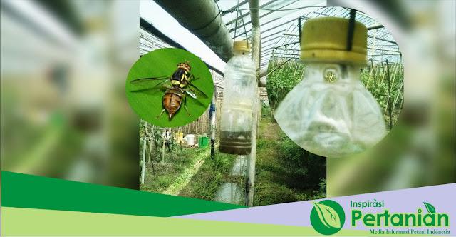 Cara Membuat Perangkap Lalat Buah