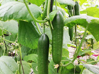 cucumber fruit images