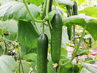 Cucumber Pictures