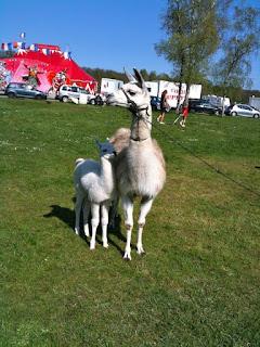 Le jeune Alpaga et sa mère devant le cirque