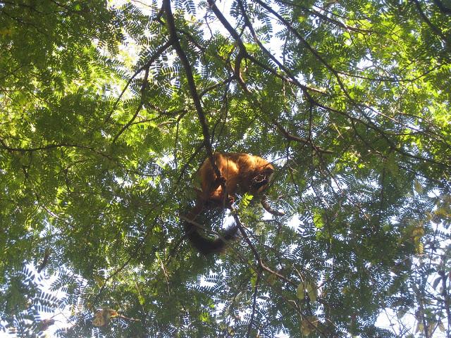 red ruffed lemur ankarafantsika
