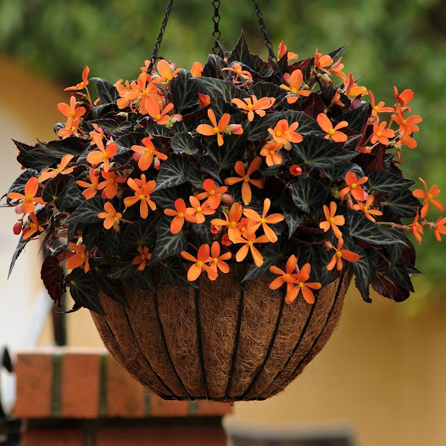 Begonias ! Home Decor