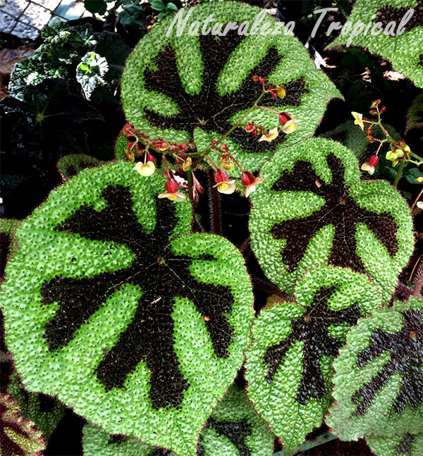 La Hermosa begonia Cruz de hierro, Begonia masoniana