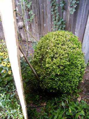 Large boxwood is shaded by a board and protected from SW sun.