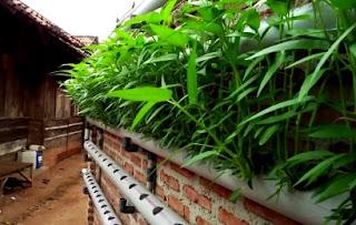 Manfaatkan lahan kecil untuk budidaya kangkung hidroponik
