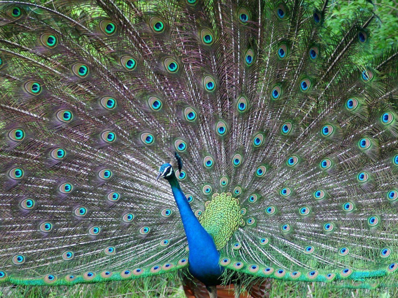 HD Wallpapers Fine: Peacock Most Beautiful Bird High