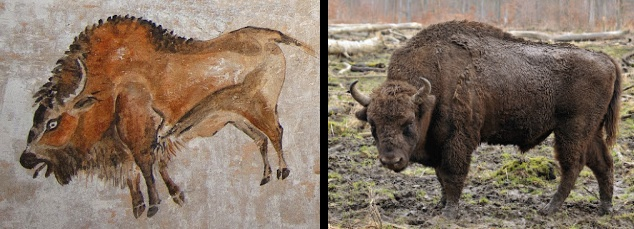 This realistic painting of a bison is about 15,000 years old and was painted by a Paleolithic 'caveman' in the Cave of Altamira in Spain. This work was accomplished with a multi-colored spray-paint technique in the darkness of the cave. This demonstrates the remarkable skills, powers of observation, and memory humans had even in Paleolithic times.   And a photograph of a European bison today (a somewhat different bison species), showing the accuracy of the cave painting.
