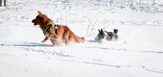 toller, corgi, śnieg, zima, pies w górach, karkonosze z psem