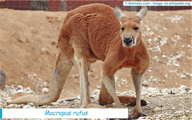 Fakta unik kanguru