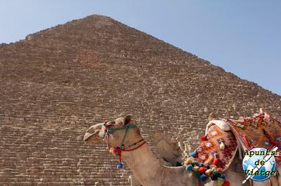 Camello delante de la pirámide de Keops