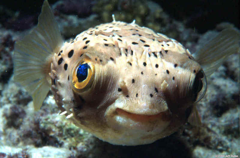 All animals puffer fish for Puffer fish adaptations