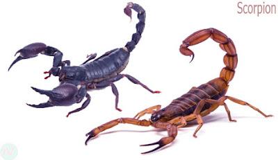 scorpion creature