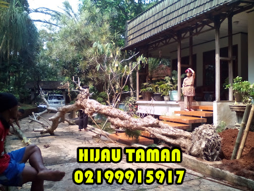 Jual Pohon Kamboja Fosil Pohon Kamboja Kuning Pohon