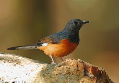 Murai batu Borneo atau Kalimantan adalah salah satu jenis burung murai yang memiliki ciri khas yaitu 'Gembung'