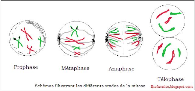 Schémas illustrant les différents stades de la mitose