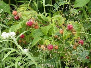 Framboisier sauvage - Rubus idaeus subsp. strigosus - Framboise