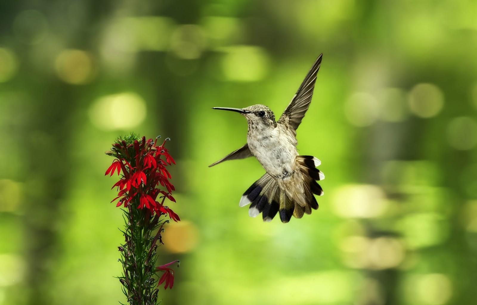 Hd Wallpapers: Hummingbird HD Wallpapers