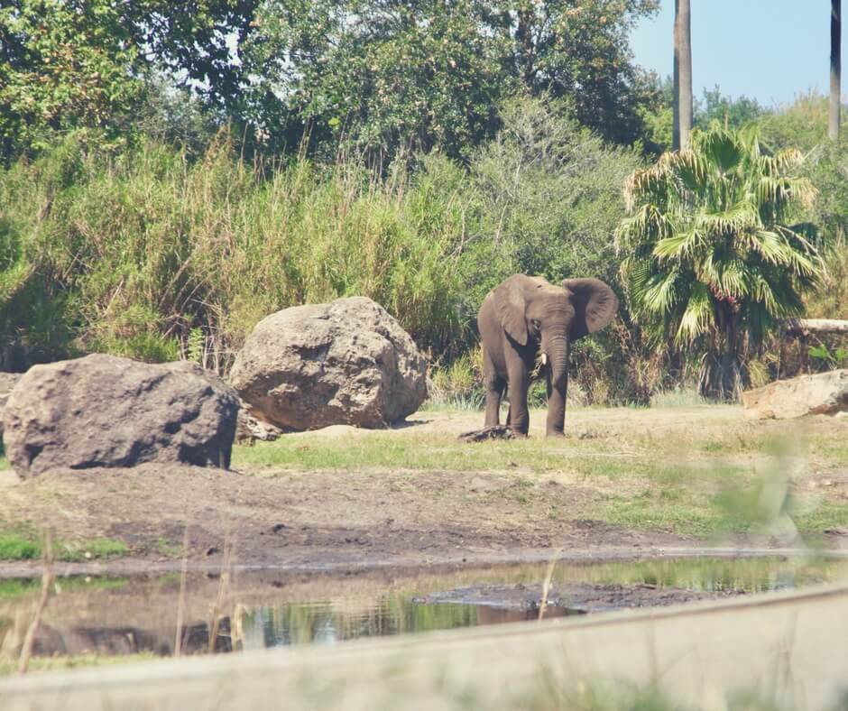 A baby elephant walks through the Savannah. He stands next to rocks as big as him. In the background are large trees, in the foreground is blurred long grass. Photo was taken on Kilimanjaro Safaris, one of the best rides in Animal Kingdom, Walt Disney World.