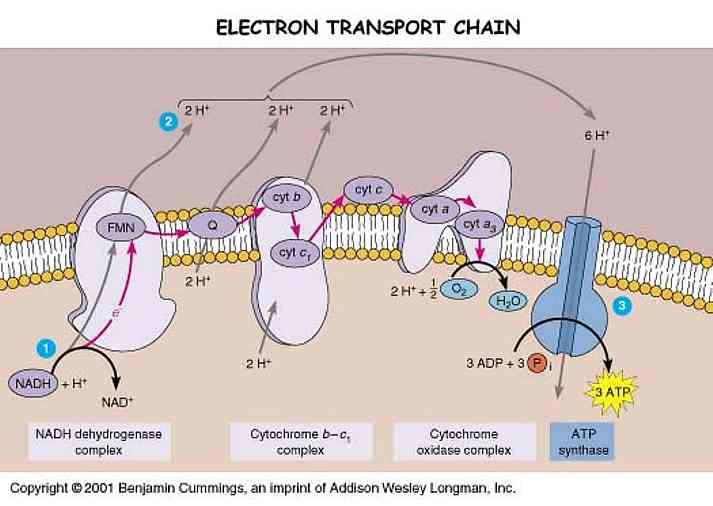 electron transport chain Electron transport chain final stage of aerobic oxidation _____ • also known as:-oxidative phosphorylation(when coupled to atp synthase).