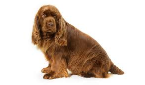 Anjing Ras Sussex Spaniel