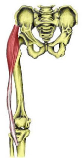 tensor fascia latae muscle, action, muscle picture