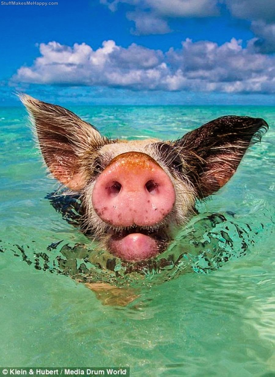 Happy Life Of Cheerful Swimming Pigs Of The Big Majors Cay