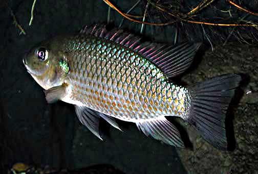 Umpan Pancing Jitu Ikan Mujair