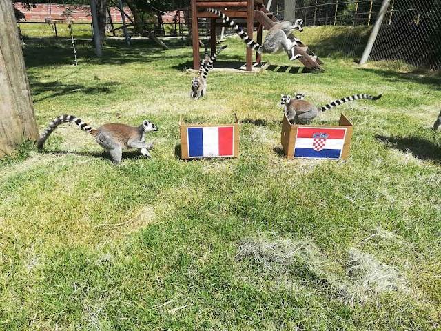 Lemuren im Skopjer Zoo sagen Weltmeister voraus - Bild des Tages