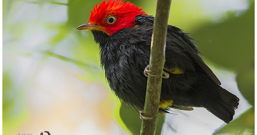 Featured Species: Red-capped Manakin (Ceratopipra mentalis)