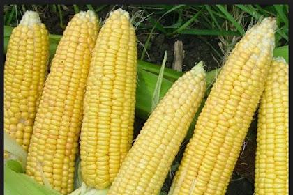 12 benefits of sweet corn to Diet