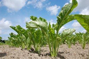 Mustard Greens Planting