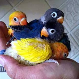 Umur anakan lovebird sudah dipanen dari glodok maupun untuk di loloh sendiri
