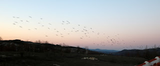 Starlings flying over on their way to bed