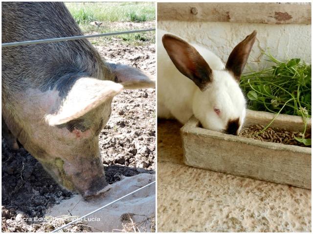 Chancho comiendo ración / Conejo comiendo ración y hojas verdes - Chacra Educativa Santa Lucía
