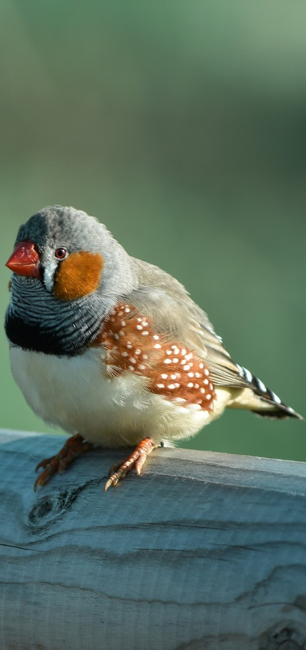 Picture of a zebra finch.