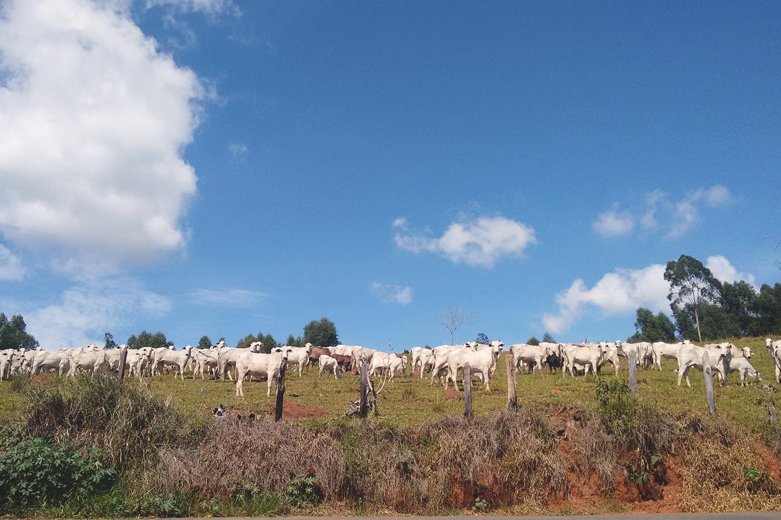grupo vacas olhando