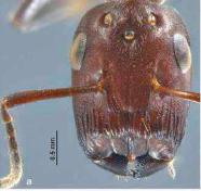 Las hormigas que explotan ( Colobopsis explodens)
