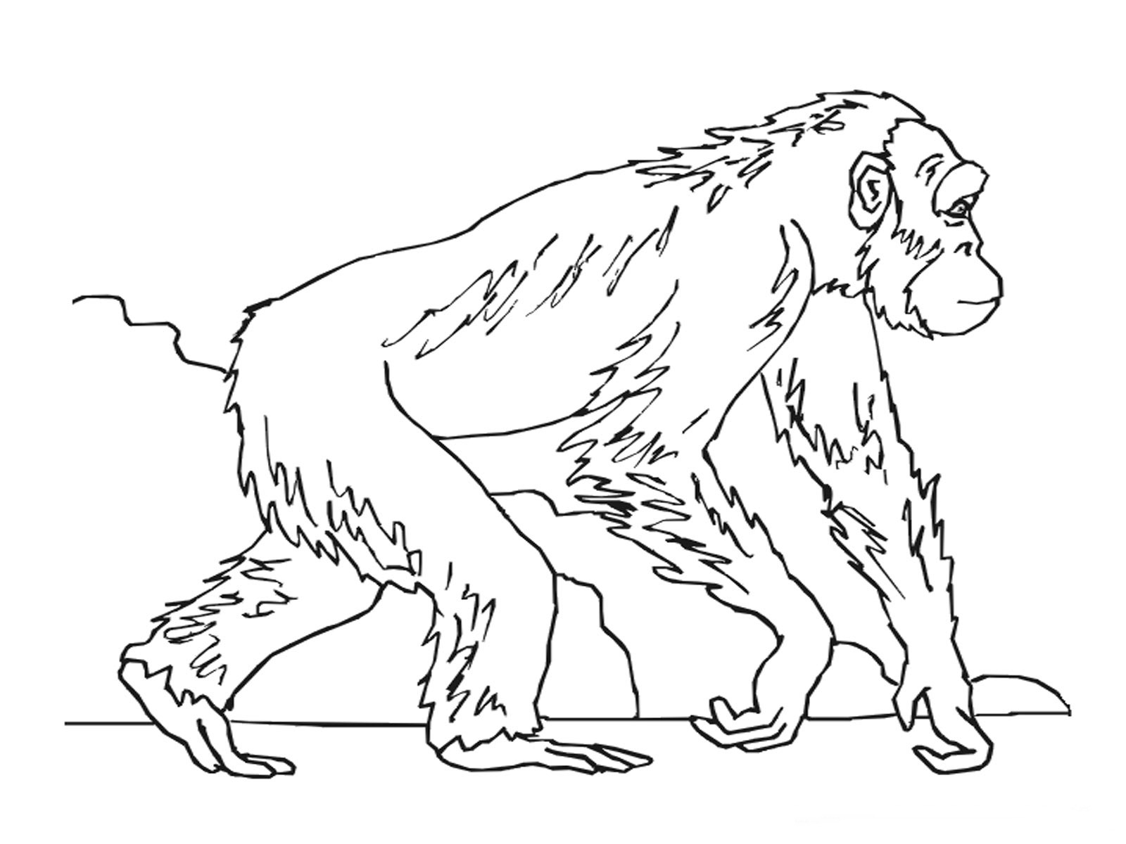 Ape Coloring Pages - Kidsuki   free coloring pages animals realistic