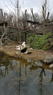 Giant Panda in the outside enclosure at the Zoo In Vienna