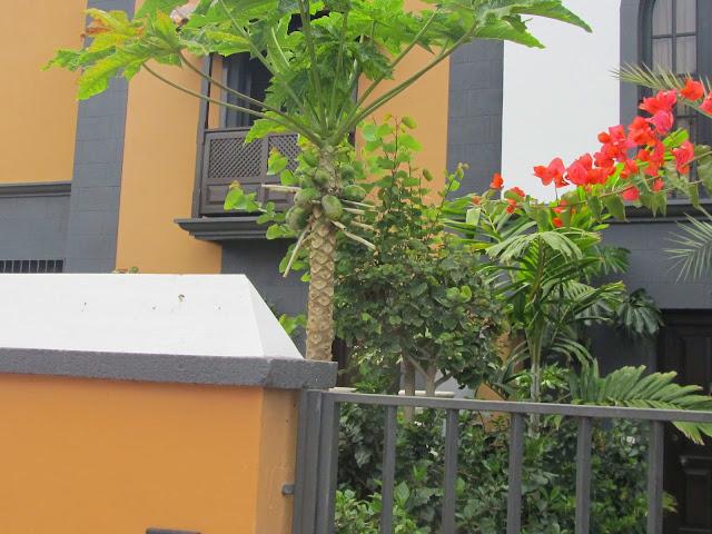 Carica papaya Tenerife
